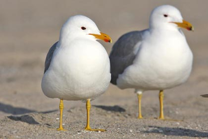 California Gull Picture @ Kiwifoto.com