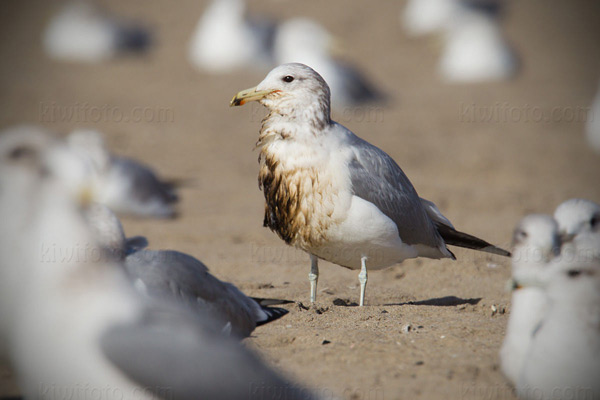California Gull (oiled)