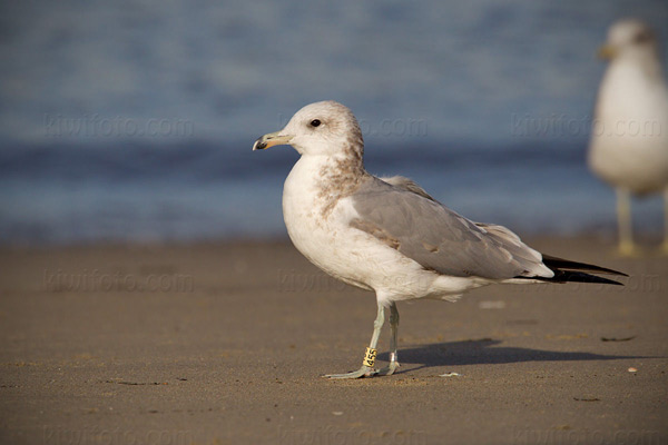 California Gull Photo @ Kiwifoto.com