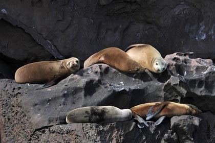 California Sea Lion Photo @ Kiwifoto.com