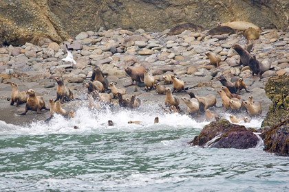 California Sea Lion Picture @ Kiwifoto.com