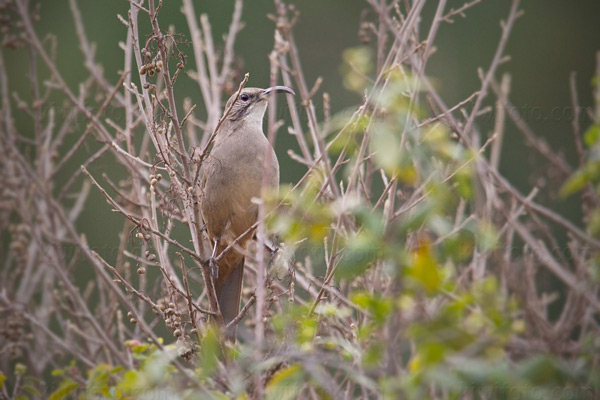 California Thrasher Photo @ Kiwifoto.com