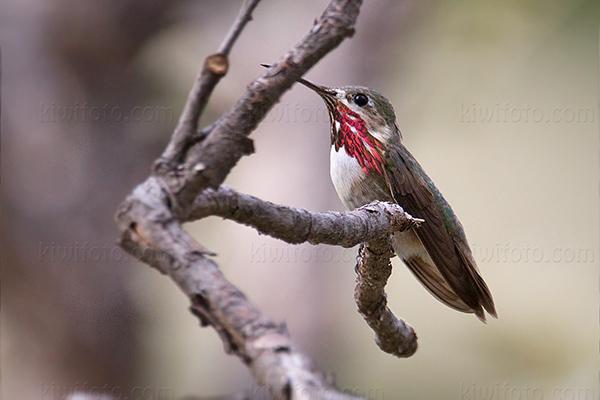 Calliope Hummingbird @ Miller Canyon, AZ
