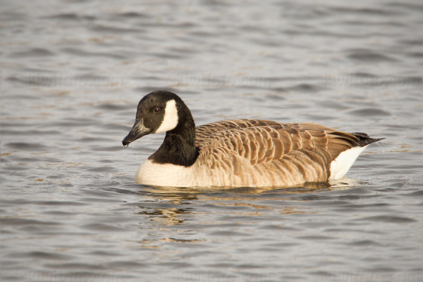 Canada Goose Photo @ Kiwifoto.com