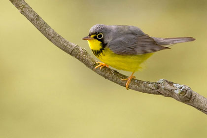 Canada Warbler Photo @ Kiwifoto.com