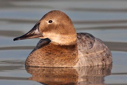 Canvasback Photo @ Kiwifoto.com