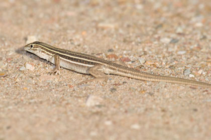Canyon Spotted Whiptail