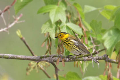 Cape May Warbler Image @ Kiwifoto.com