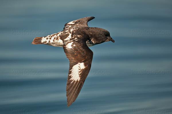 Cape Petrel Photo @ Kiwifoto.com