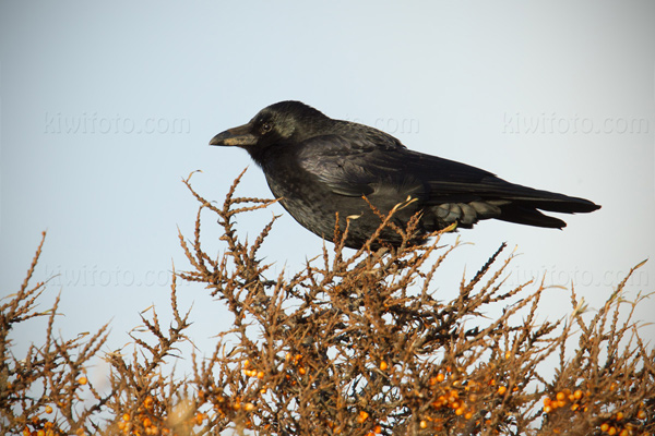 Carrion Crow Picture @ Kiwifoto.com