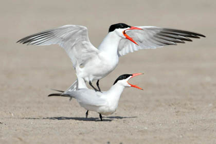 Caspian Tern Photo @ Kiwifoto.com