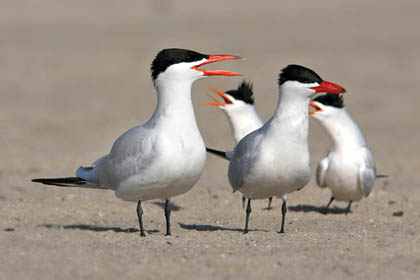 Caspian and Elegant Terns