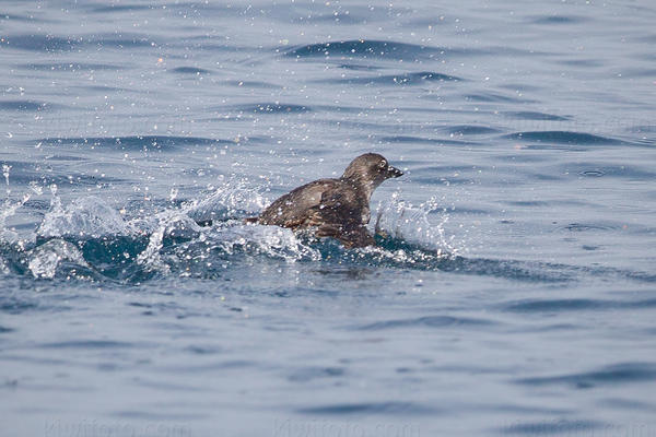 Cassin's Auklet Photo @ Kiwifoto.com