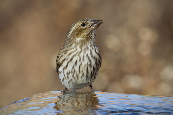 Cassin's Finch Photo @ Kiwifoto.com