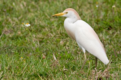 Cattle Egret Photo @ Kiwifoto.com