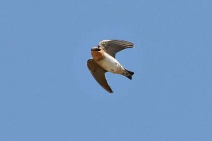 Cave Swallow Picture @ Kiwifoto.com