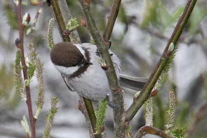 Chestnut-backed Chickadee Picture @ Kiwifoto.com