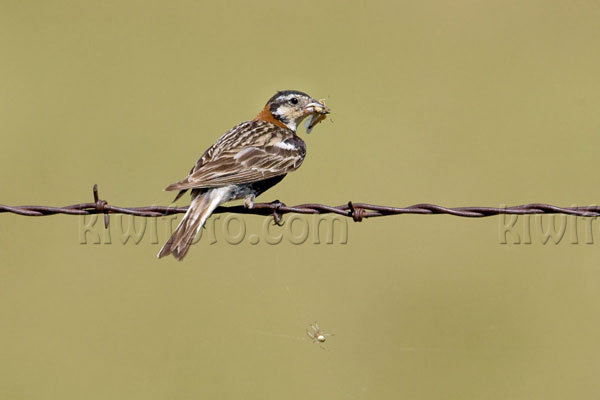 Chestnut-collared Longspur Photo @ Kiwifoto.com