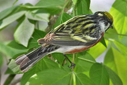 Chestnut-sided Warbler Photo @ Kiwifoto.com