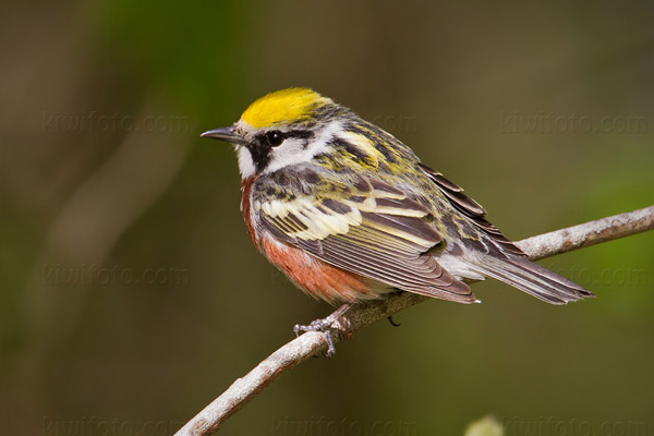Chestnut-sided Warbler Picture @ Kiwifoto.com