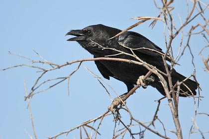 Chihuahuan Raven Photo @ Kiwifoto.com