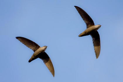 Chimney Swift Picture @ Kiwifoto.com