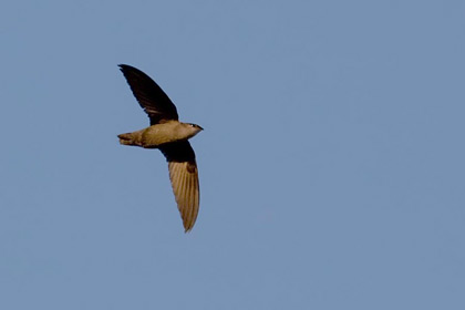 Chimney Swift Image @ Kiwifoto.com