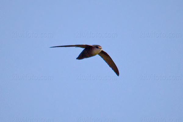 Chimney Swift Photo @ Kiwifoto.com