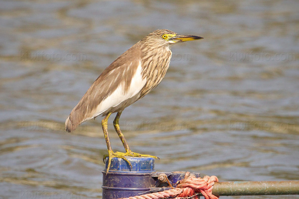 Chinese Pond-Heron Photo @ Kiwifoto.com