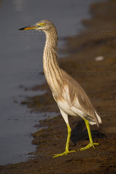 Chinese Pond-Heron Picture @ Kiwifoto.com