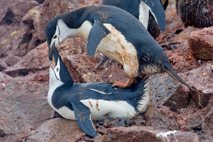 Chinstrap Penguin (Chinstrap Penguin copulation)