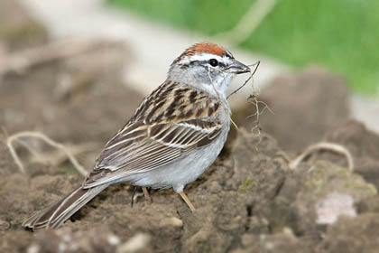 Chipping Sparrow Picture @ Kiwifoto.com