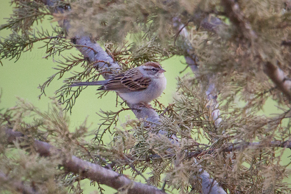 Chipping Sparrow Photo @ Kiwifoto.com