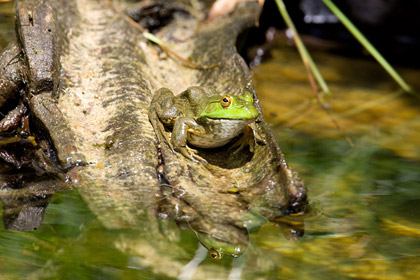 Chiricahua Leopard Frog Photo