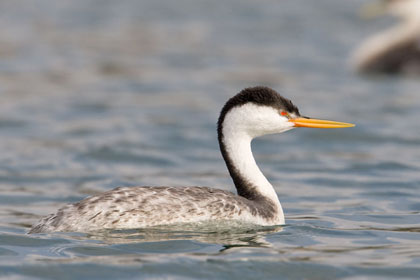 Clark's Grebe Photo @ Kiwifoto.com