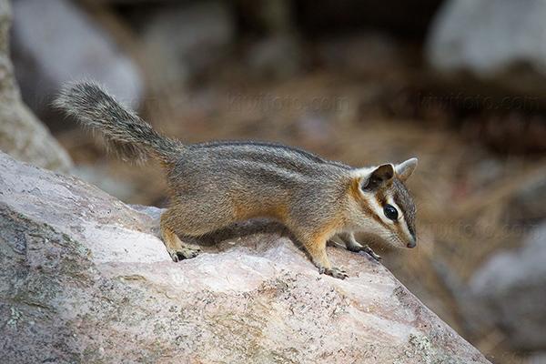 Cliff Chipmunk @ Morse Canyon, AZ
