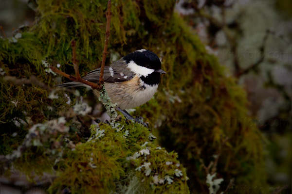 Coal Tit Photo @ Kiwifoto.com