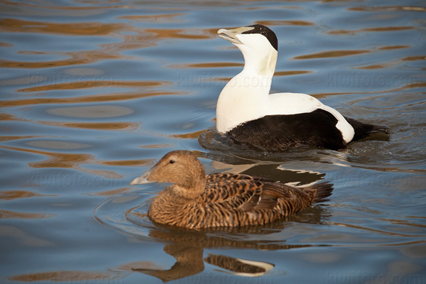 Common Eider Photo @ Kiwifoto.com