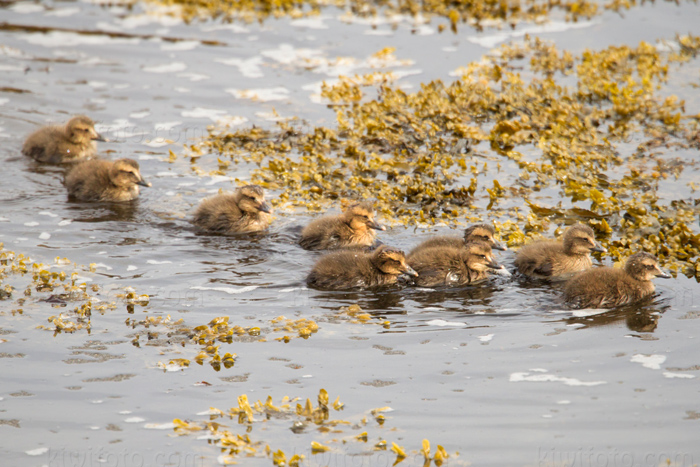 Common Eider Picture @ Kiwifoto.com