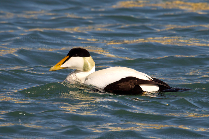 Common Eider @ Lake Myvatn, Iceland