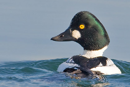 Common Goldeneye Image @ Kiwifoto.com
