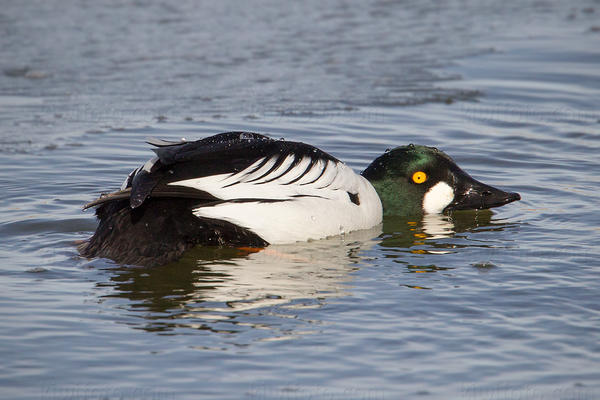 Common Goldeneye Picture @ Kiwifoto.com
