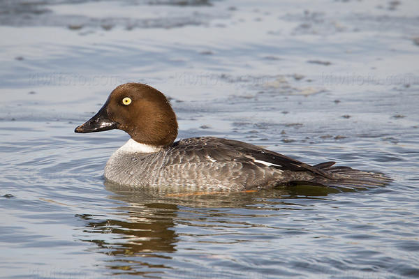 Common Goldeneye (female)