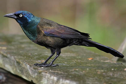 Common Grackle Photo @ Kiwifoto.com