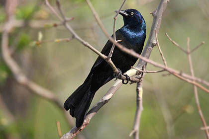 Common Grackle Picture @ Kiwifoto.com