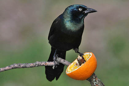 Common Grackle Image @ Kiwifoto.com