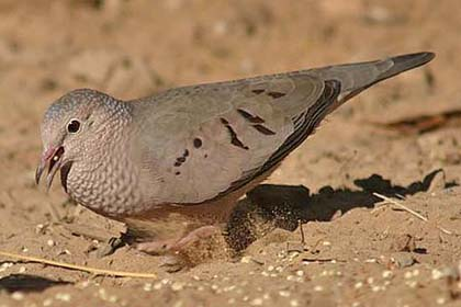 Common Ground-dove Photo @ Kiwifoto.com