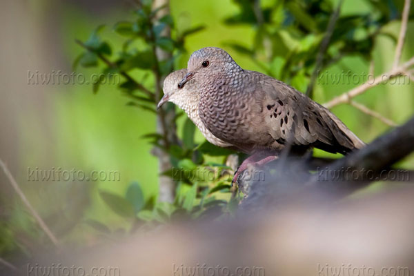 Common Ground-dove Image @ Kiwifoto.com