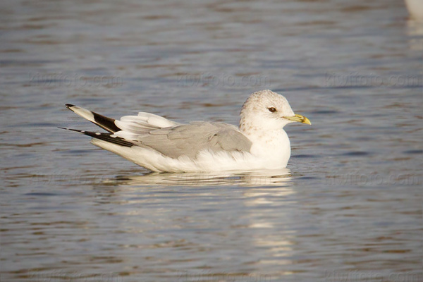 Common Gull Picture @ Kiwifoto.com