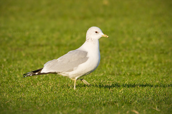 Common Gull Image @ Kiwifoto.com